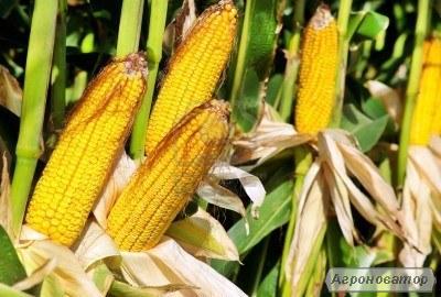 Семена кукурузы Dow Seeds (Доу сидс)
