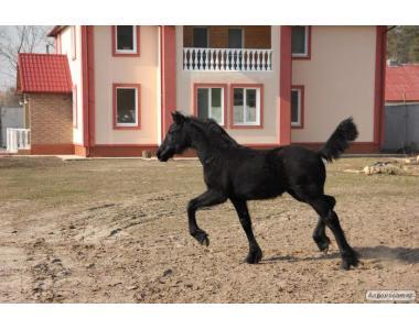 жеребенок фризской лошади Киев