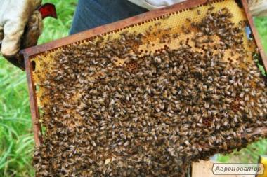 Продам бджолопакети карпатка.