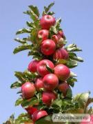 Продам красиві і великі яблука з власного саду, різних сортів