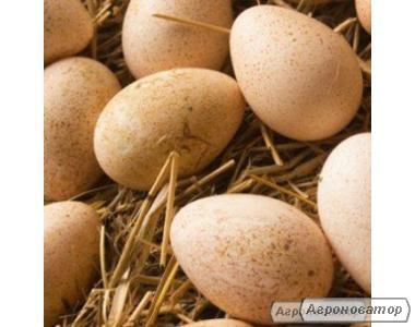 Индюшиное инкубационное яйцо 85% оплод
