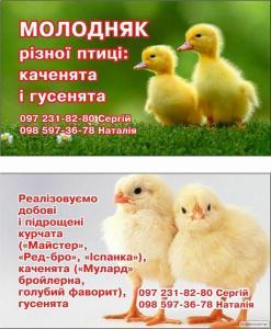 Цыплята продам суточные