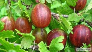 Саджанці агруса(агрусу) Неслуховский та Зелений дощ
