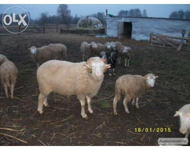 Продам живых баранов,овец