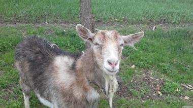 Комбікорм гранульований для кіз, овець, відгодівлі та лактуючих
