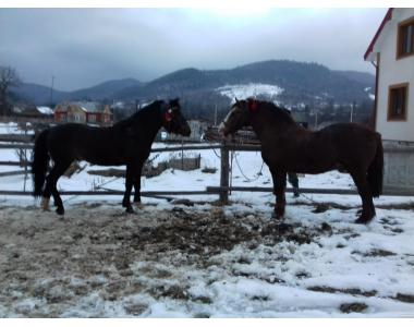 Продам коня (пару)