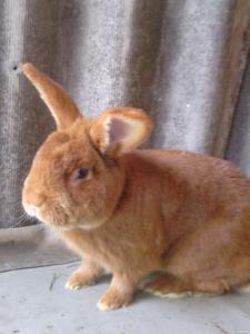 продам кроликів новозеландців червоних