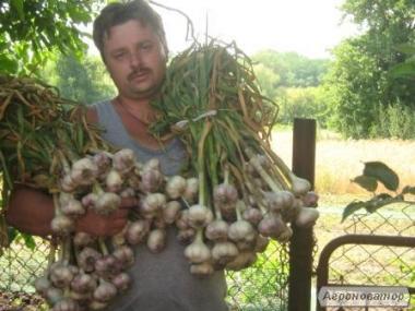 Ищу оптового покупателя чеснока урожая 2018 года