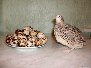 Инкубационные яйца перепелов, естонский перепел