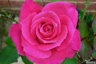 Районовані саджанці троянд