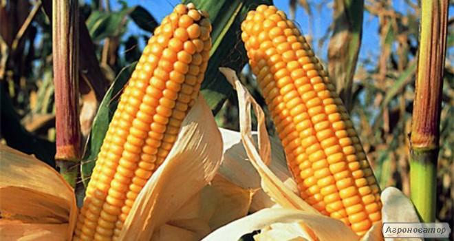 Гибрид кукурузы ТАР 349 МВ