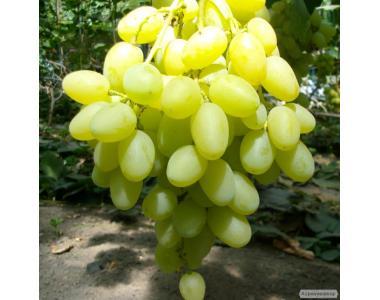 Саджанці винограду столових, винних і підщепних сортів