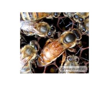Бджоломатки КАРПАТСЬКОЇ породи 2017 року.