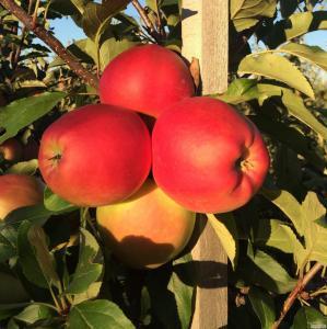 Продажа летних яблок: ГАЛА. Урожай 2016
