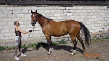 Кінь, кобила чистокровна, Українська верхова, УВП