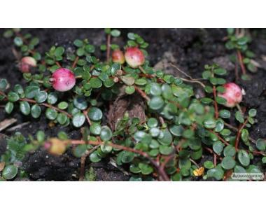 Myrteola nummularia - плодовые миртовые