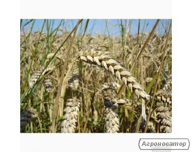 Насіння пшениці озимої - сорт Богдана. Еліта й 1 репродукція