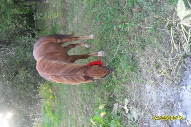 Хороший кінь, Російський ваговоз