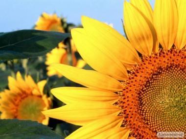 Насіння соняшнику Яныш, 115 днів