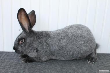 Продам кролі полтавське срібло