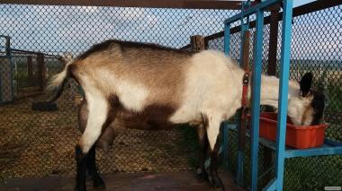 Продам молоду дійну козу альпійського типу.