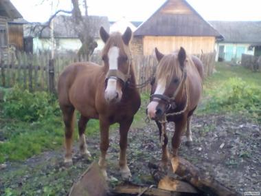 продам два коня срочно