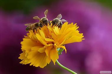 Продаж бджоломаток Українська степова 2019г з 1 травня.