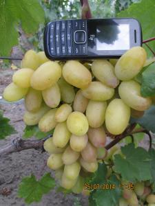 Преображення. Сорт винограду раннього періоду дозрівання.