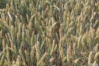 Яра пшениця Альберта