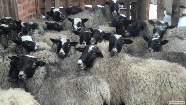 Продам баранов романовской породы