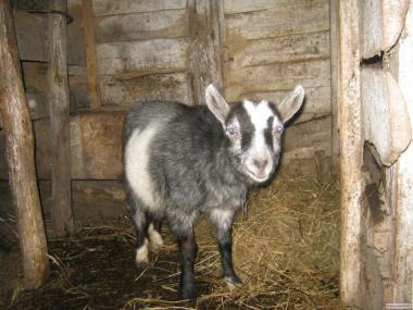 Продается коза.