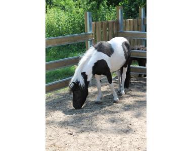 продам кобылу пони