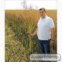 Семена озимого рапса гибрид ЛЕМБКЕ Шерпа