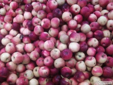 Продам срочно яблоки разно сортовые подбор с сада на переработку около