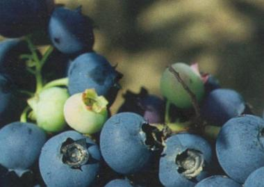 Бригита Блу(Brigitta Blue) 2-летка