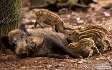 Продам свиней дикої породи