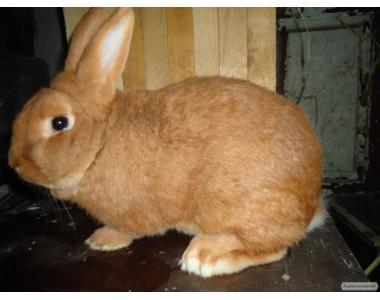 Кролики Новозеландский красний