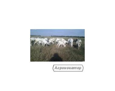 Зааненські,ламанчі,нубийские козенята,кози,цапи плем.Злучка.ВСЯ УКР.