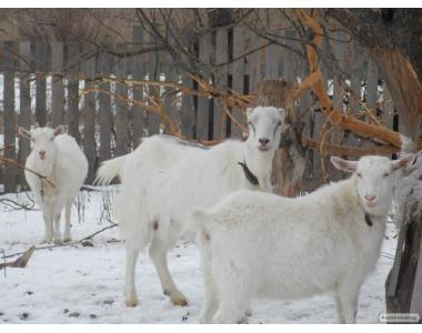 Зааненские,ламанчи,нубийские козлята,козы,козлы плем.Случка.ВСЯ УКР.