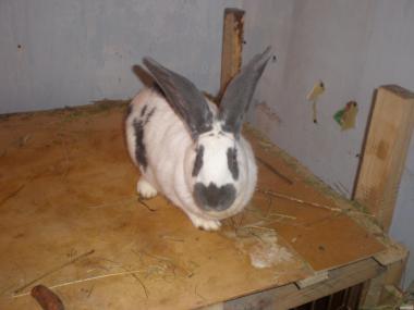 Кролики породы немецкий пестрий великан (строкач)
