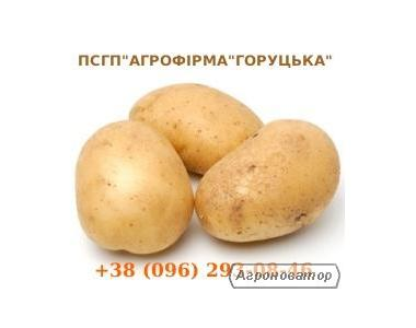 Картопля насінева сорт Агаві