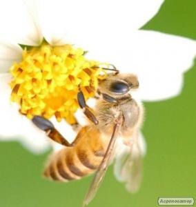 Продам пчелосемьи  Продам бджолопакети