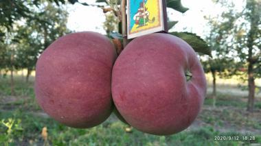 Яблоки оптом