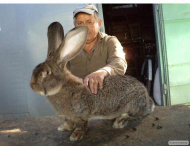 Кролики бельгийский великан