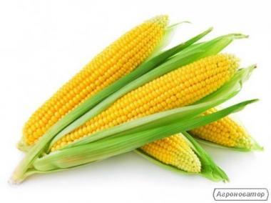 Продаю сортовую кукурузу Айова Свит