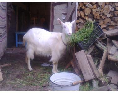 дійна коза 1 ї окіт 3л молока