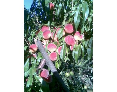 Саженец раннего персика Кондор