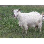 Продаются недорого дойные козы