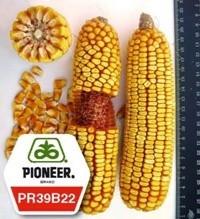Кукуруза ПР39Б22 / PR39В22 (новый) ФАО 275