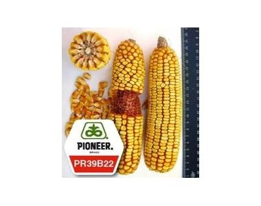 Кукурудза ПР39Б22 / PR39В22 (новий) ФАО 275